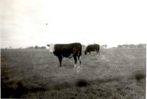 Mum's cow and calf. (scanned from box brownie photo)