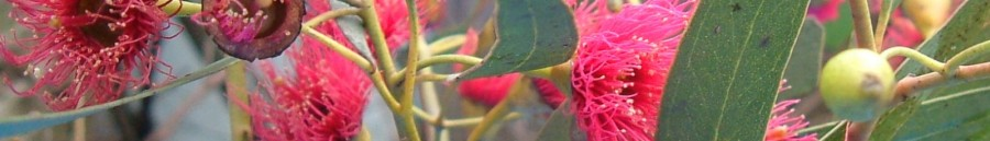 cropped-gum-red-blossom5.jpg