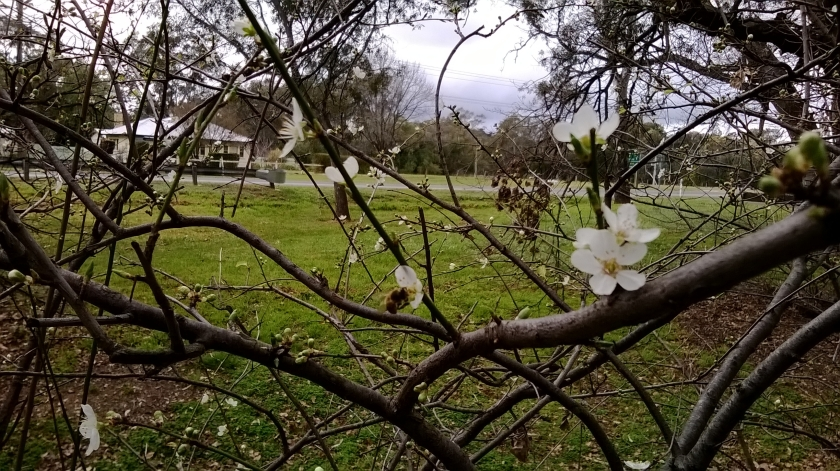 Bee on Hawthorn Blossom