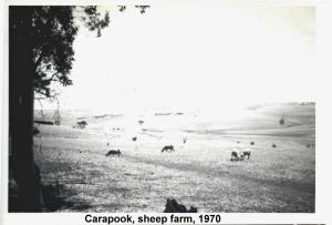 carapook sheep 1970
