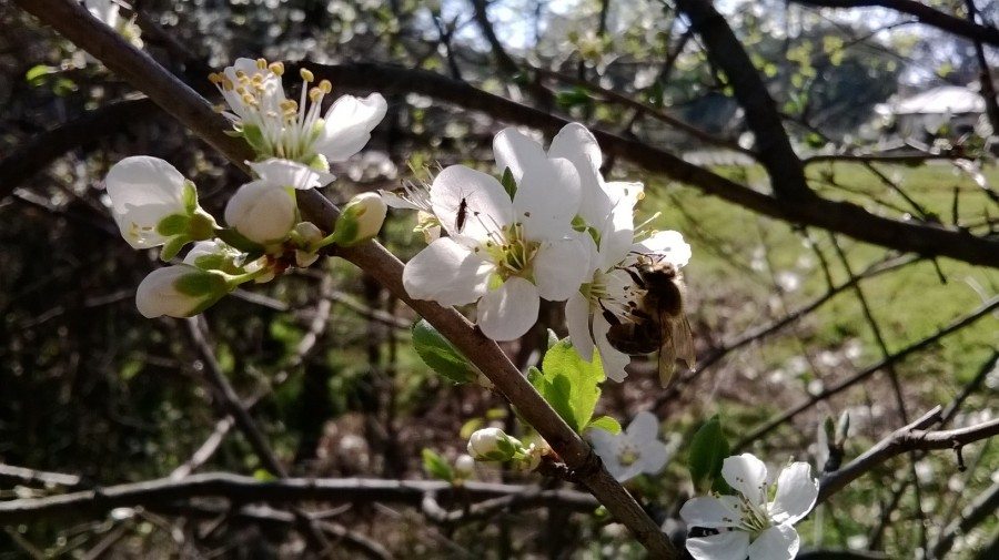 bees on hawthorn blossom
