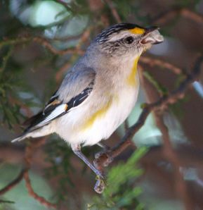 By Ric Raftis (originally posted to Flickr as Striated Pardalote) [CC-BY-2.0], via Wikimedia Commons
