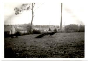 g-peacock