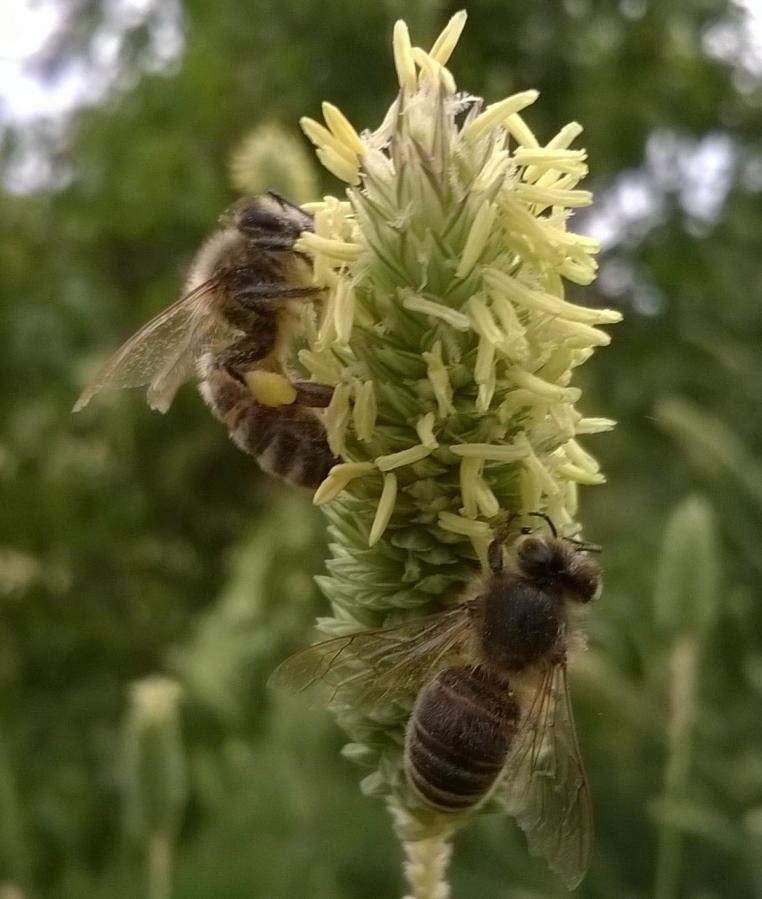 beesgrass