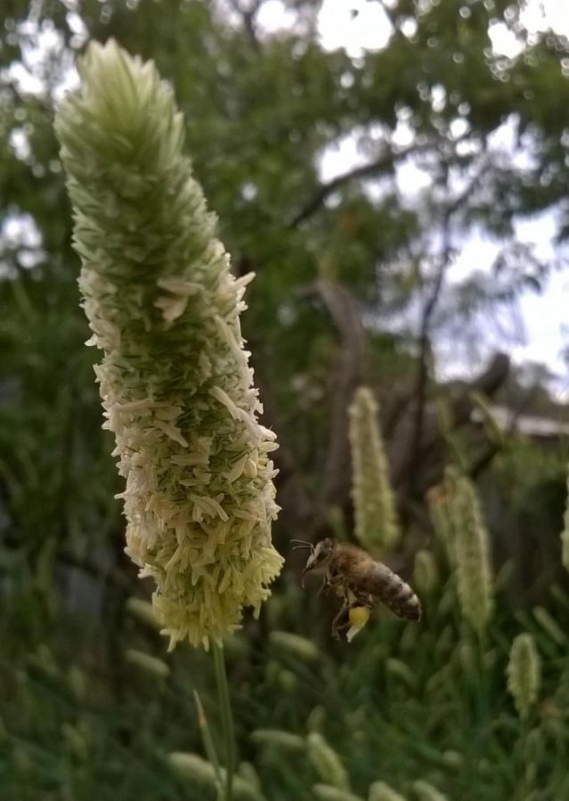 beesgrassfly