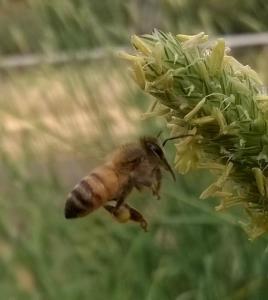 beesgrassfly2
