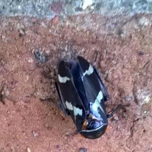 leafhopper2