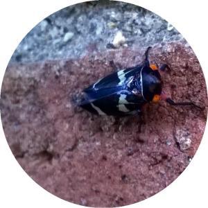 leafhopper3