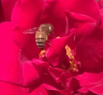 rosebee5