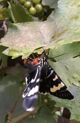 Aussie Grapevine Moth