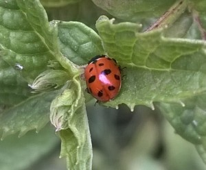 ladybug in the mint