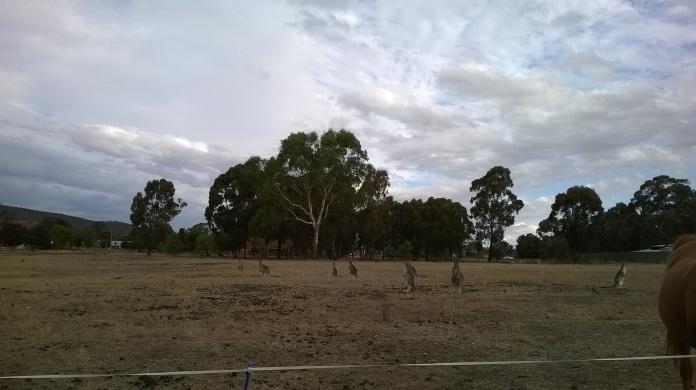 Vacant block, horses & kangaroos