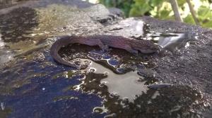 Half-drowned gecko