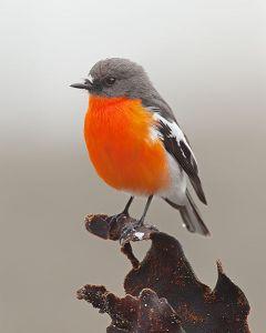 479px-Flame_Robin,_Eaglehawk_Neck.
