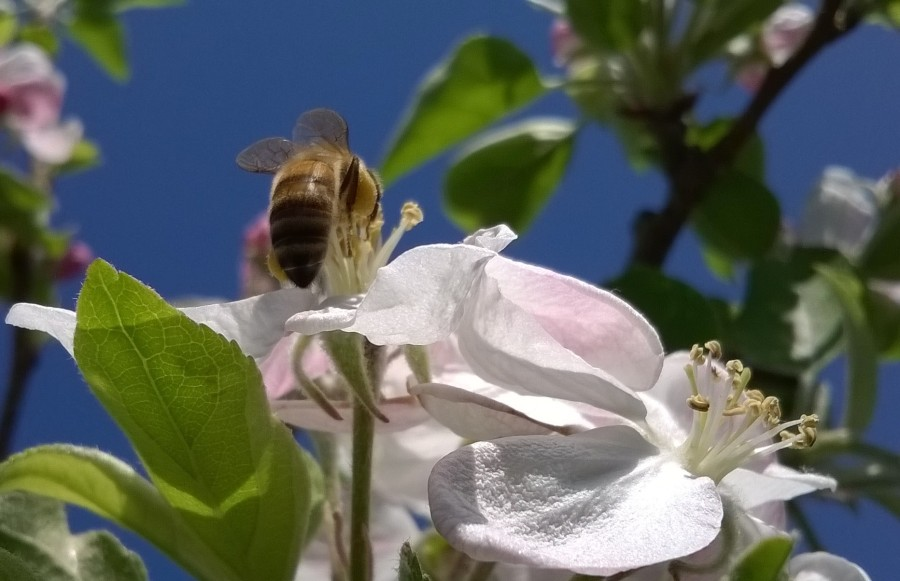 acrobatic bee in apple blossom