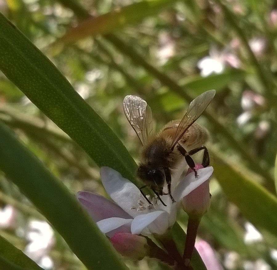 bee in an australian native daphne