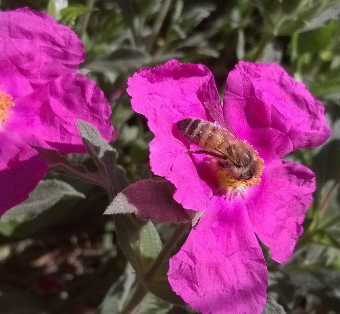 beecissus1