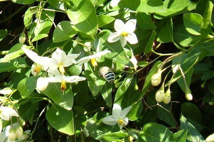 bluebandedbee