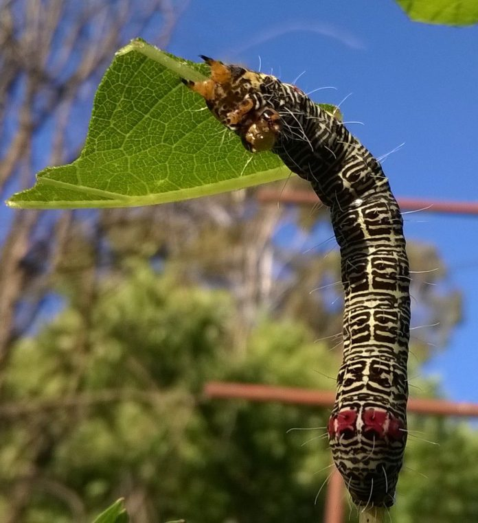 Australian Grapevine Moth caterpillar