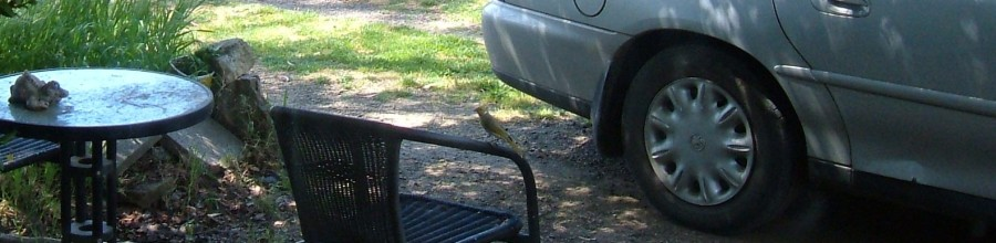 White-plumed Honeyeater perched on chair