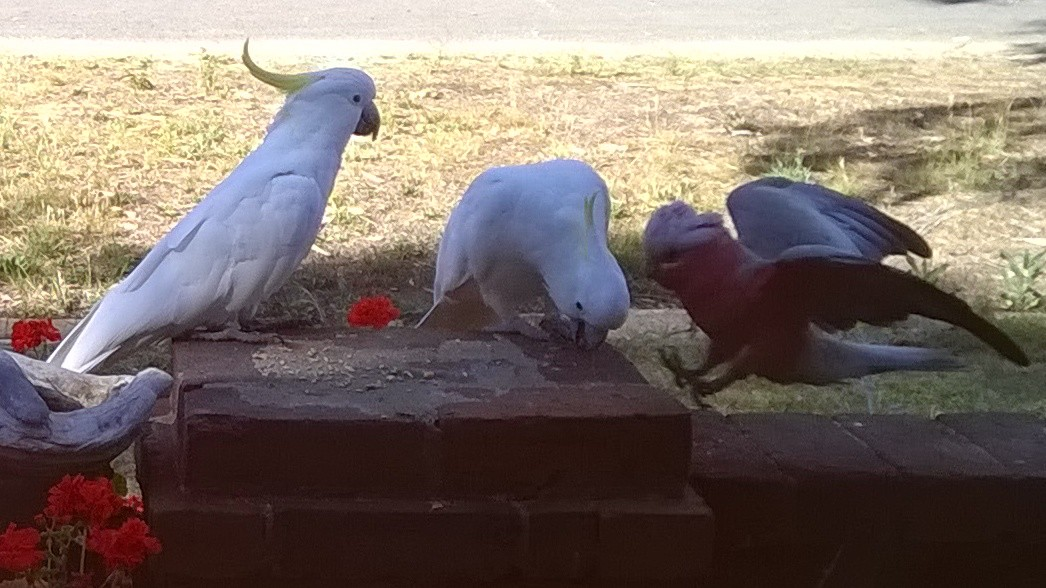 sulphur-crested cockatoos, galah