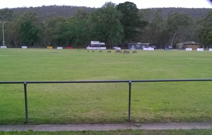 Kangaroos on the football oval in the centre of Heathcote, Victoria, Australia