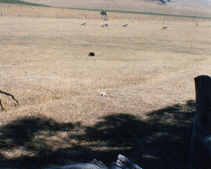 echidna - a black spot in the paddock