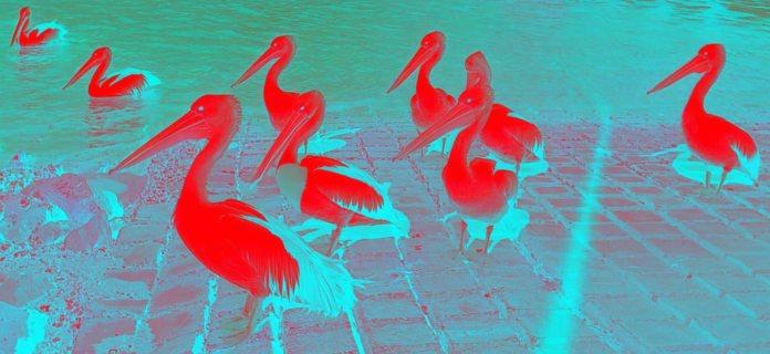 pelicansinvertedsmallred
