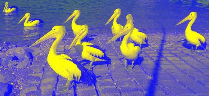 pelicansinvertedsmallyllw