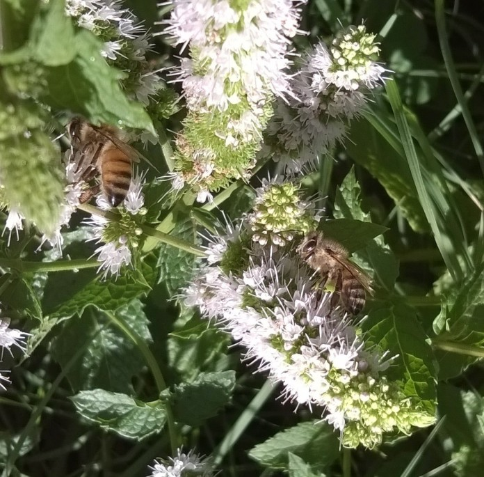 Bees on mint blossom