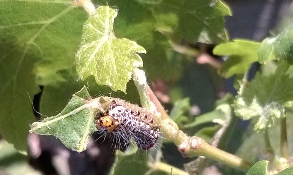 caterpillr