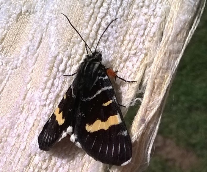 mothgrapevine1