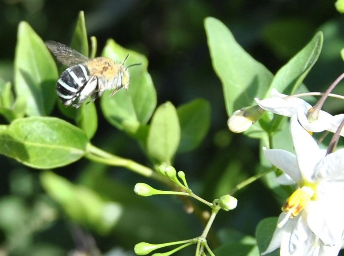 sun-drenched blue-banded bee, flying