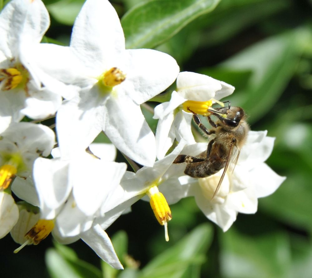 Bee on a jasmine flower