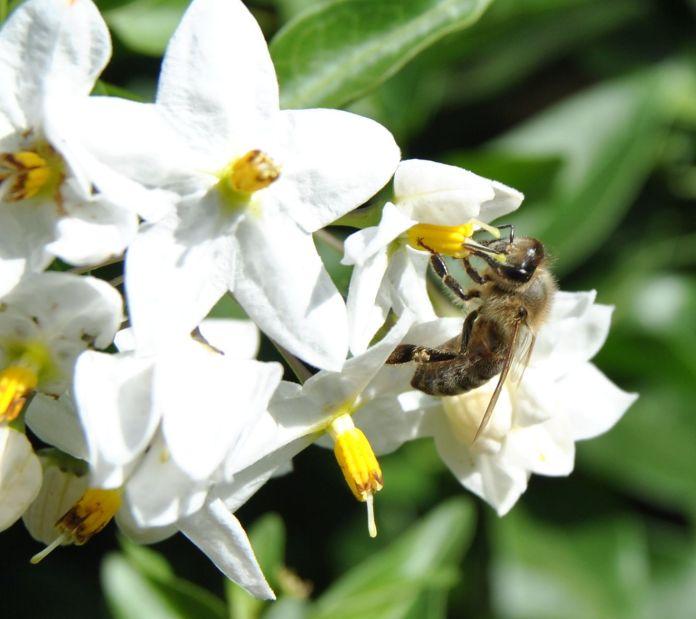 Bee on a jasmine flower