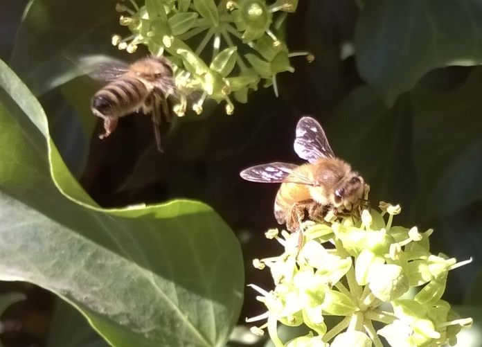 two bees enjoying the bounty of ivy flowers