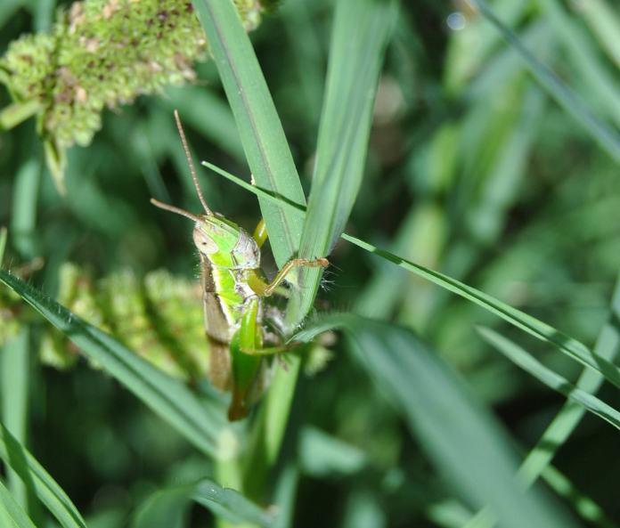 immature grasshopper?