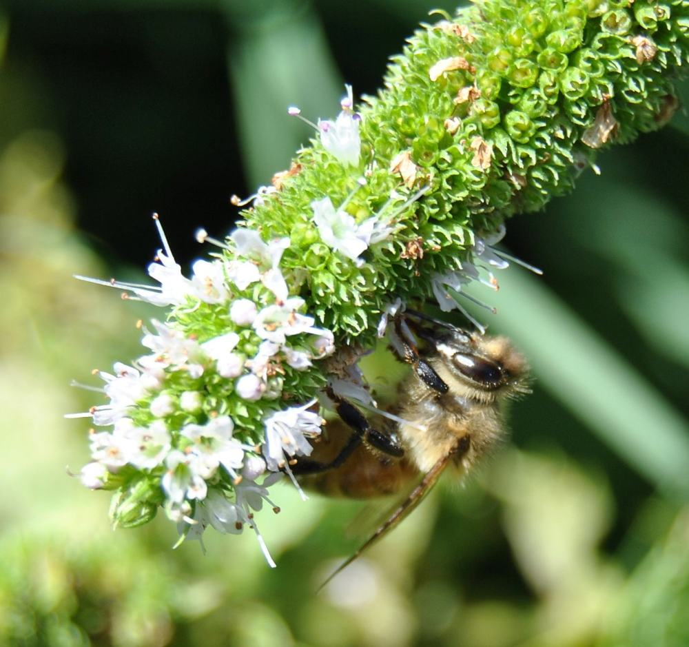 honey bee on mint blossom