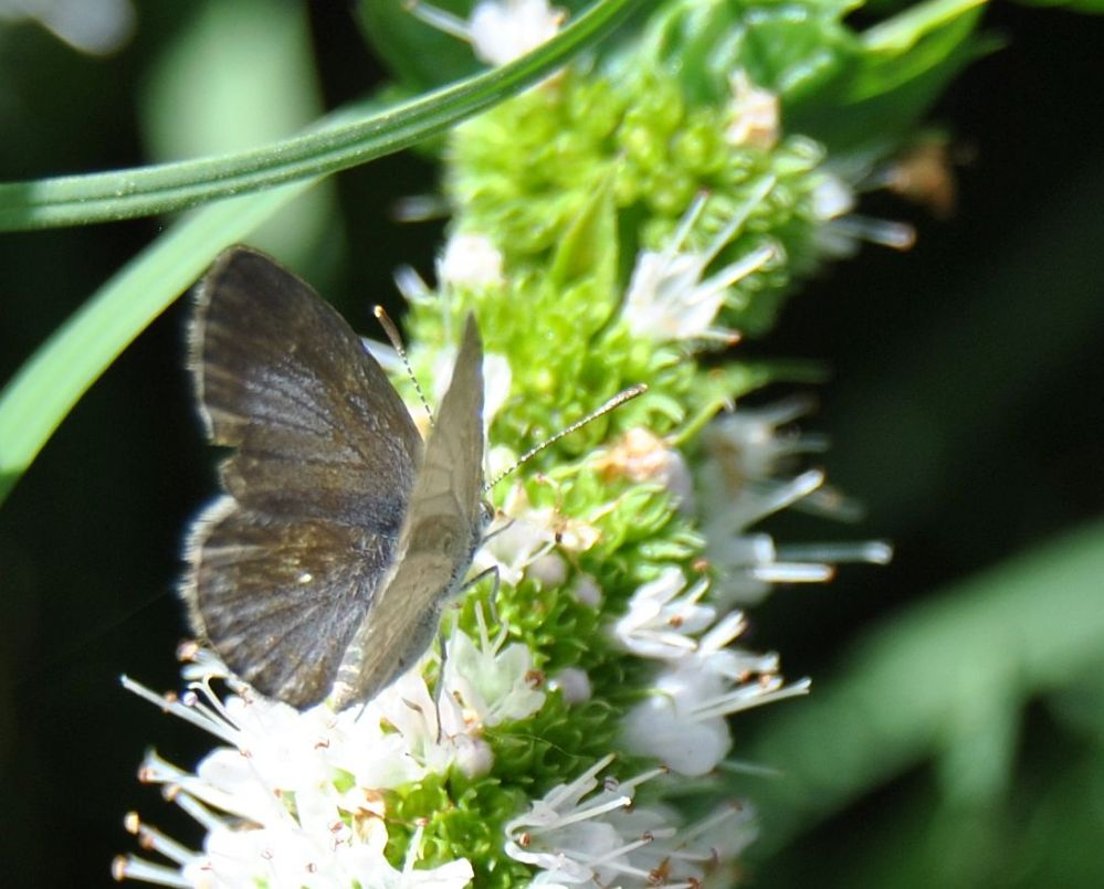 common grass blue butterfly on mint blossom