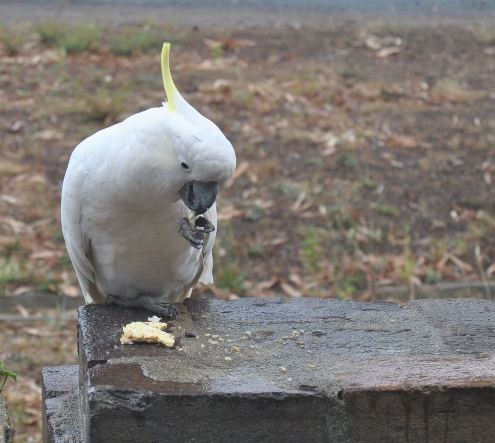 sulphur-crested cockatoo nibbling ricecake