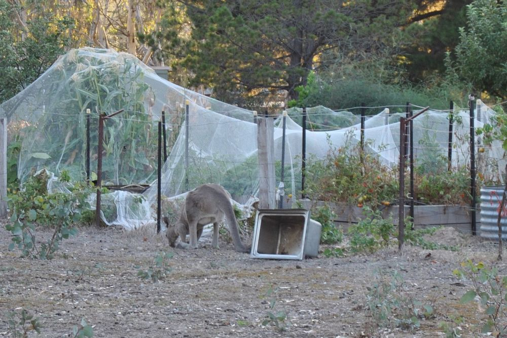 kangaroo grazing near an enclosed vegetable garden
