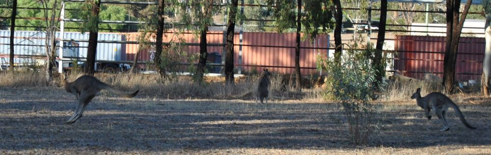 two bounding kangaroos, plus one