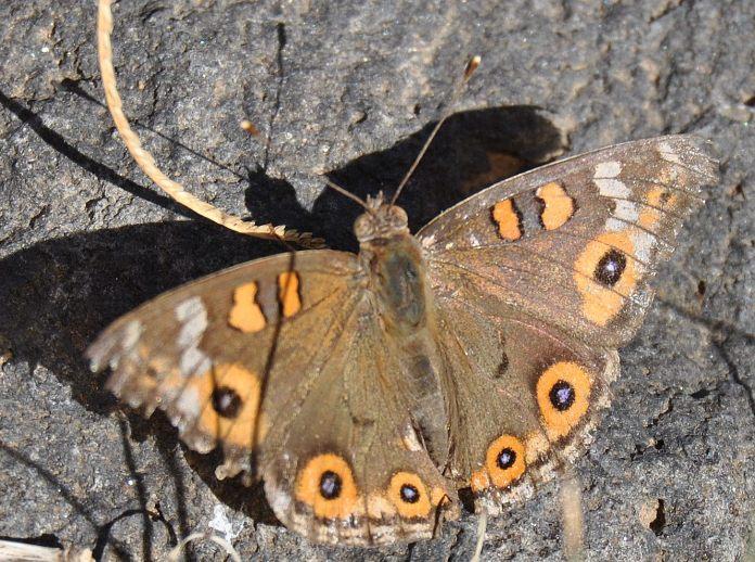 Meadow Argus Butterfly