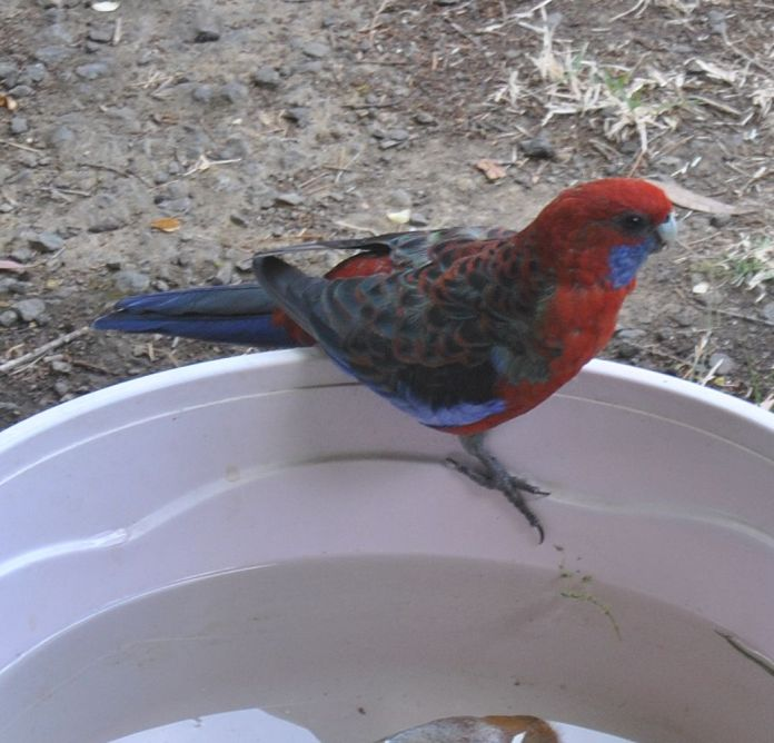 Crimson rosella, reluctant to use the rock