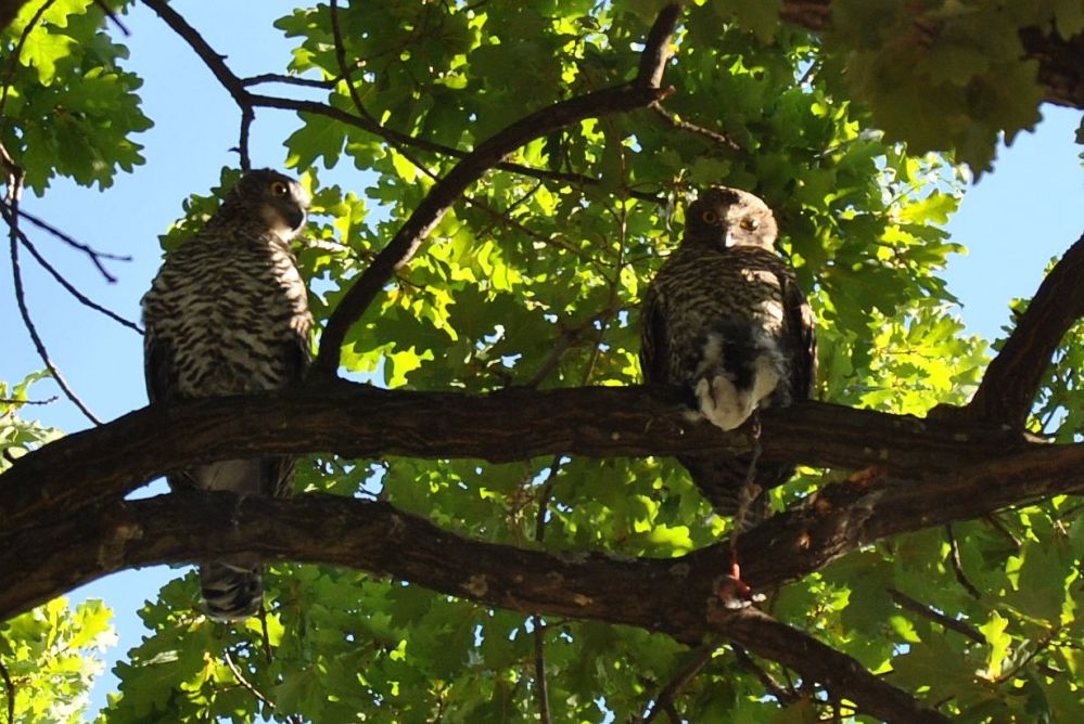 Powerful Owl, with prey