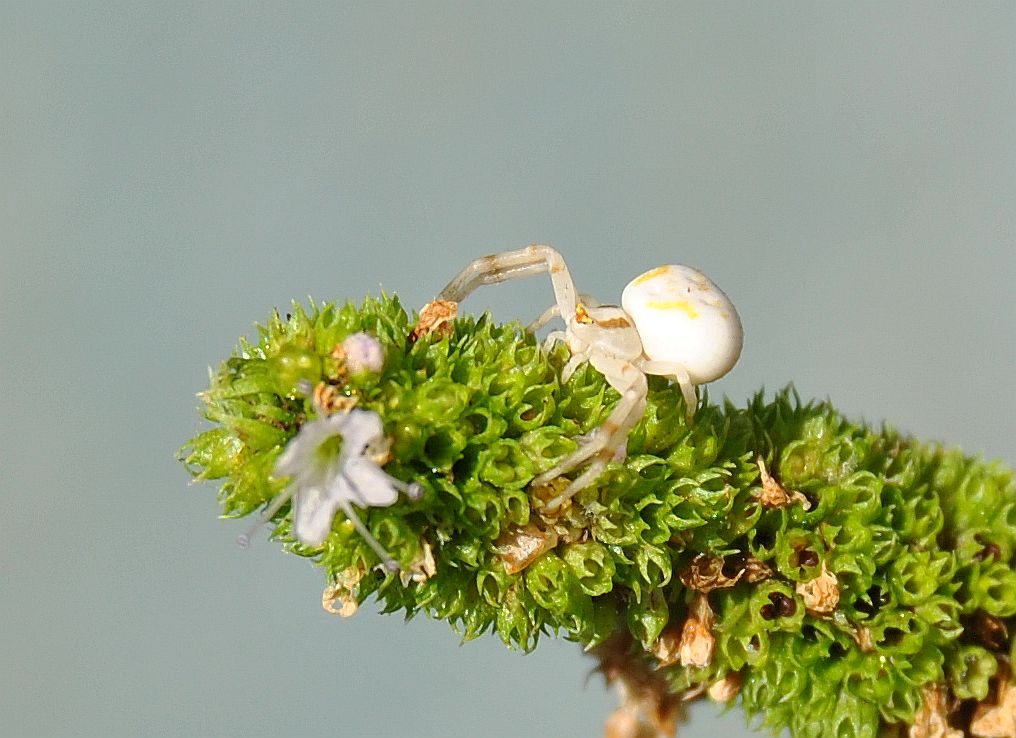 Flower spider on mint blossom