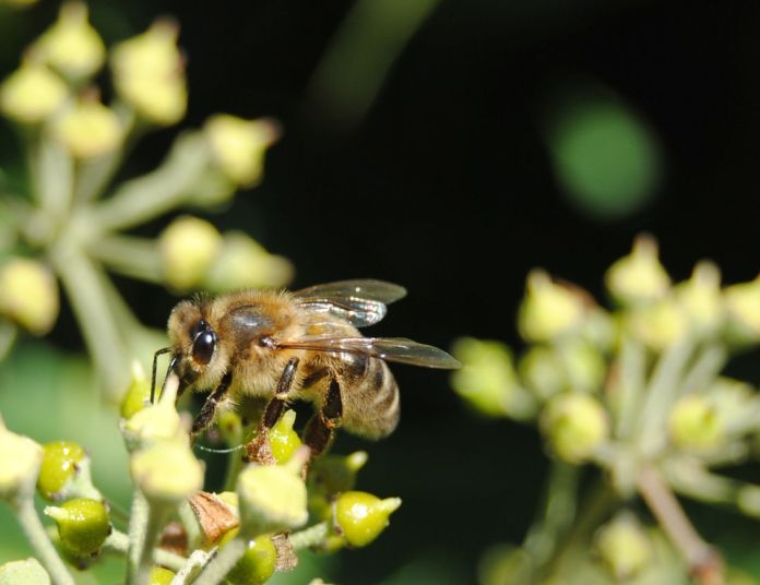 Bee on ivy blossom (Nikon D3000 on auto)