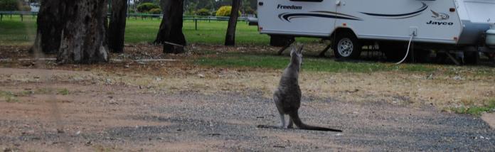 Billie, young kangaroo