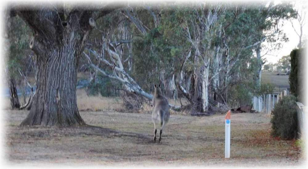 Gray Kangaroo bounding away to the scrubby roadsides