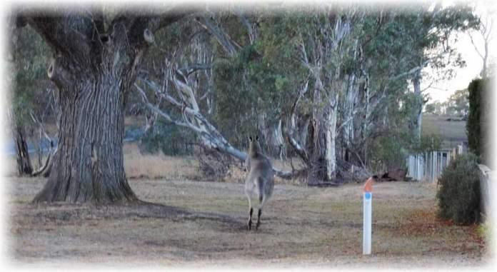 Gray Kangaroo bounding away to the scrubby roadsides